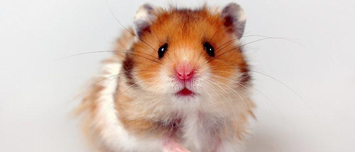 Razas de hámster: elige la que más te guste como mascota