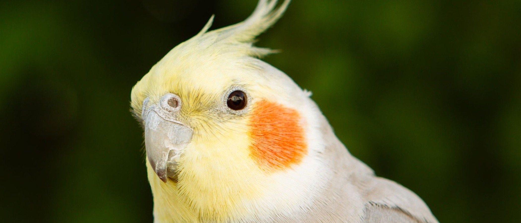 Las Ninfas: todo lo que debes saber para tener este pájaro de mascota
