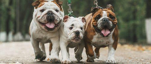 Conoce los distintos tipos de Bulldog: Inglés, francés y americano