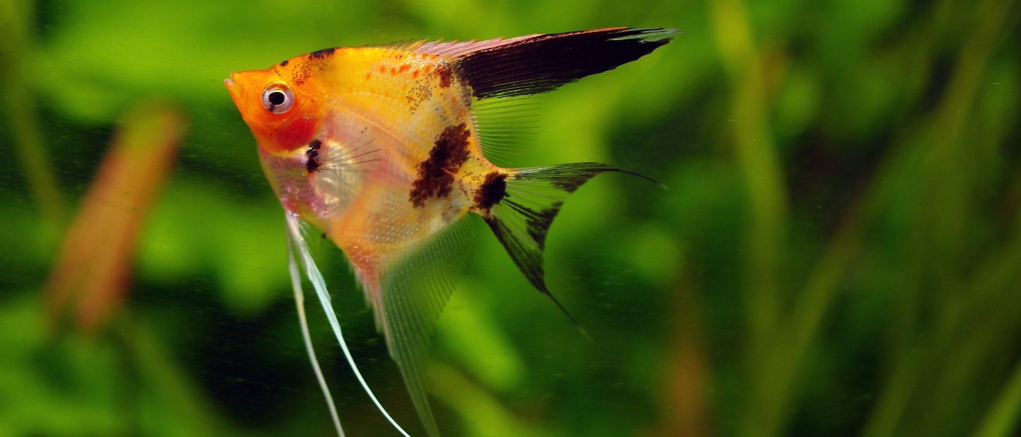 Pez Ángel: todos los cuidados sobre este pez de agua dulce