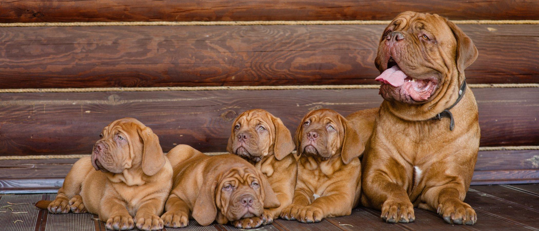 Tipos de mastín: un gran perro