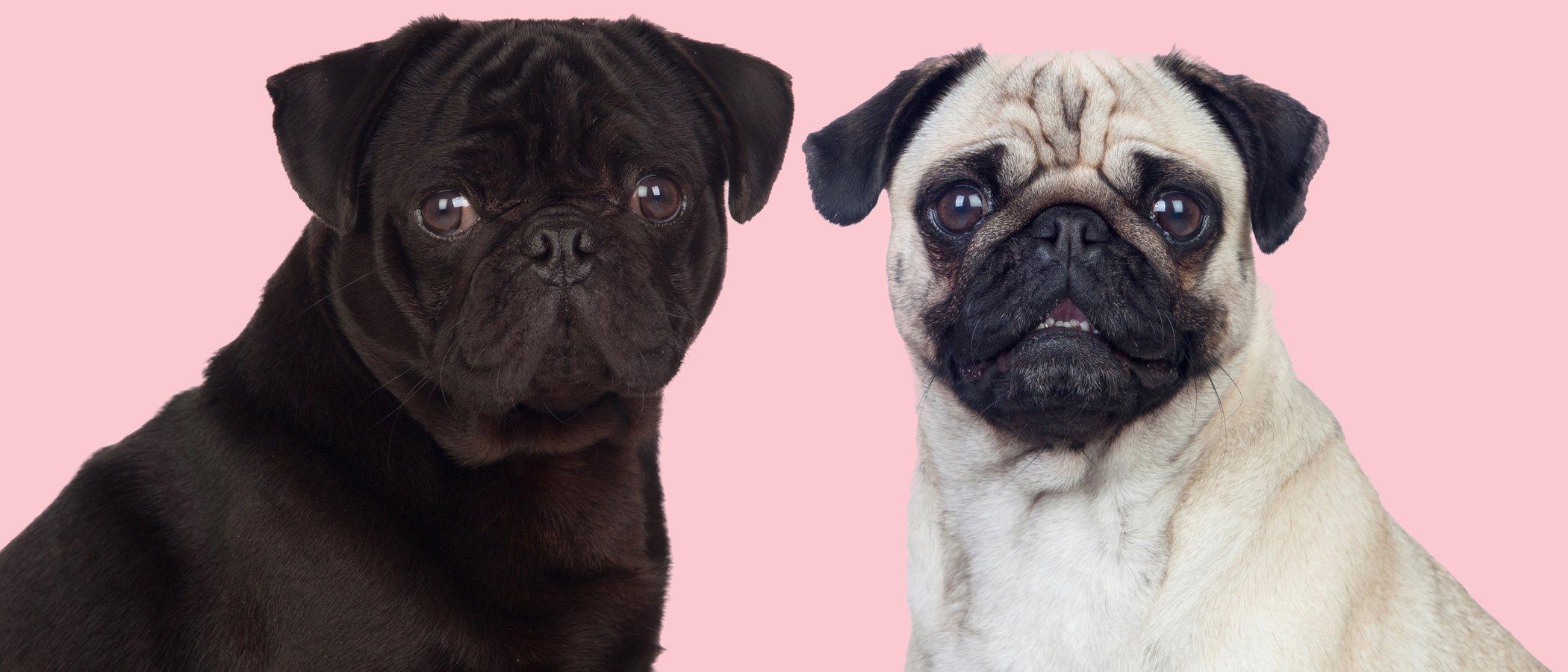 El síndrome braquicefálico: problemas en la respiración de ciertos perros