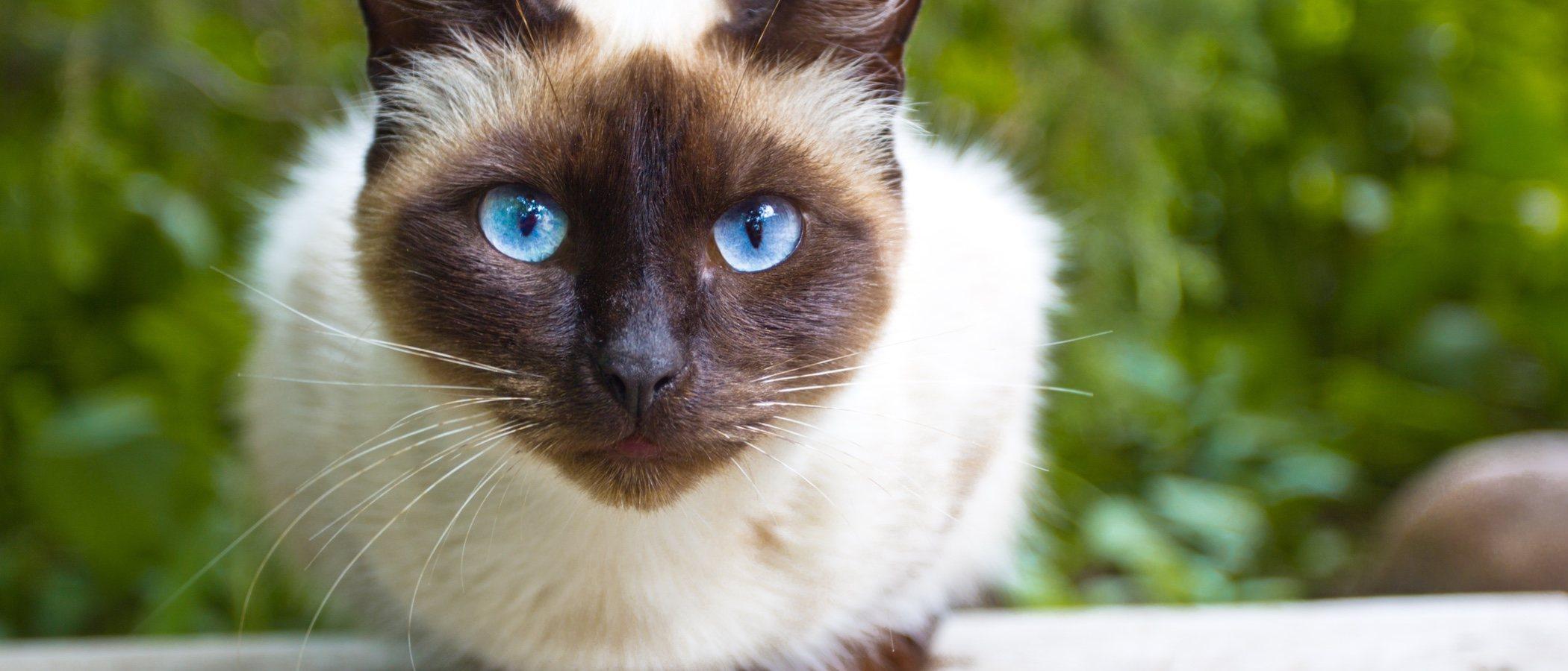 Gato siamés: toda la información sobre esta raza de felino