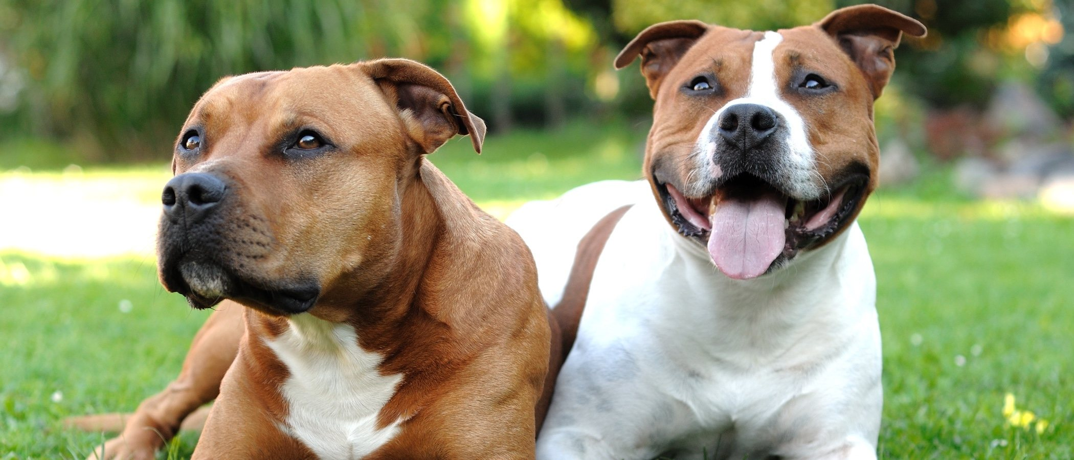 Normativa sobre perros peligrosos en España: aspectos relevantes
