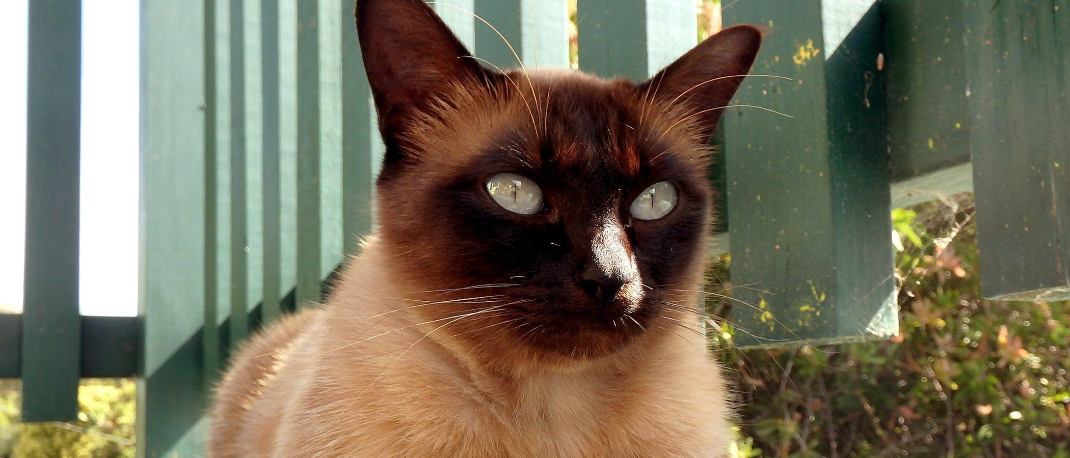 Razas de gato: Tonkinés