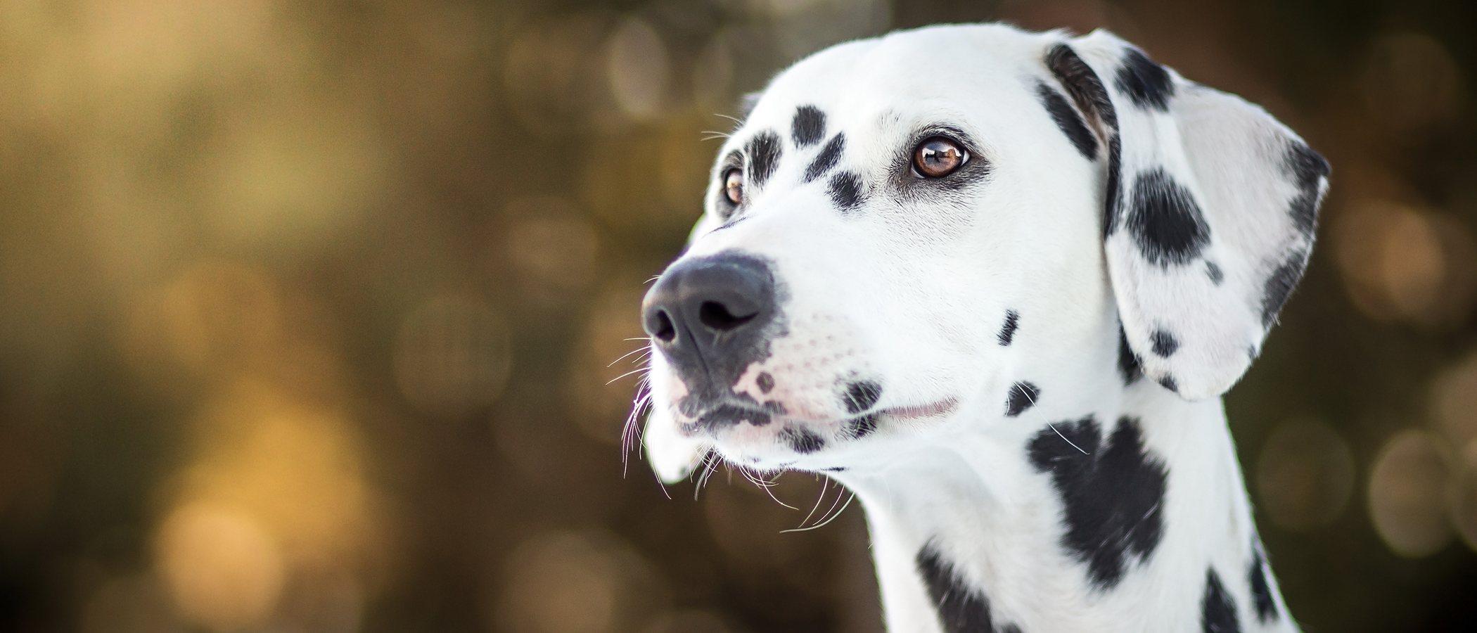 10 curiosidades de los perros dálmata
