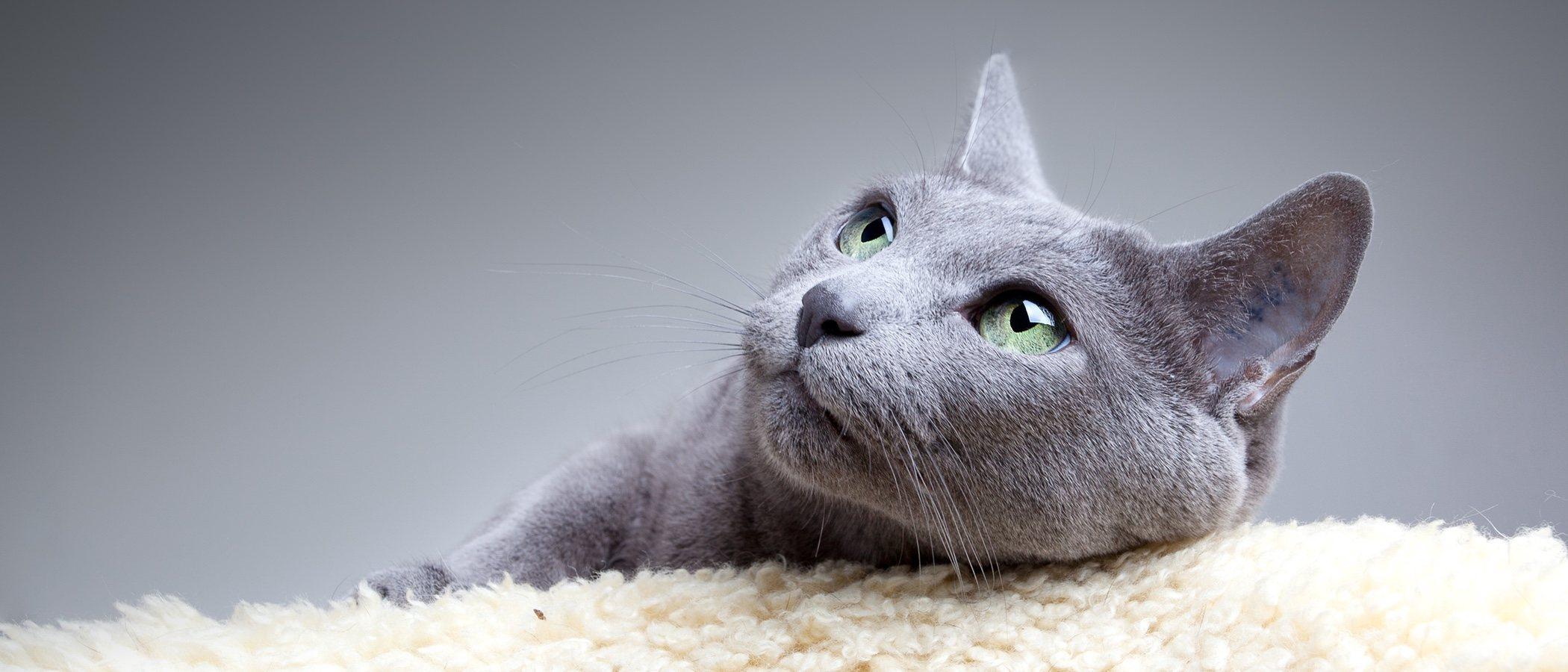 Gato azul ruso: conoce todo sobre esta raza de felino