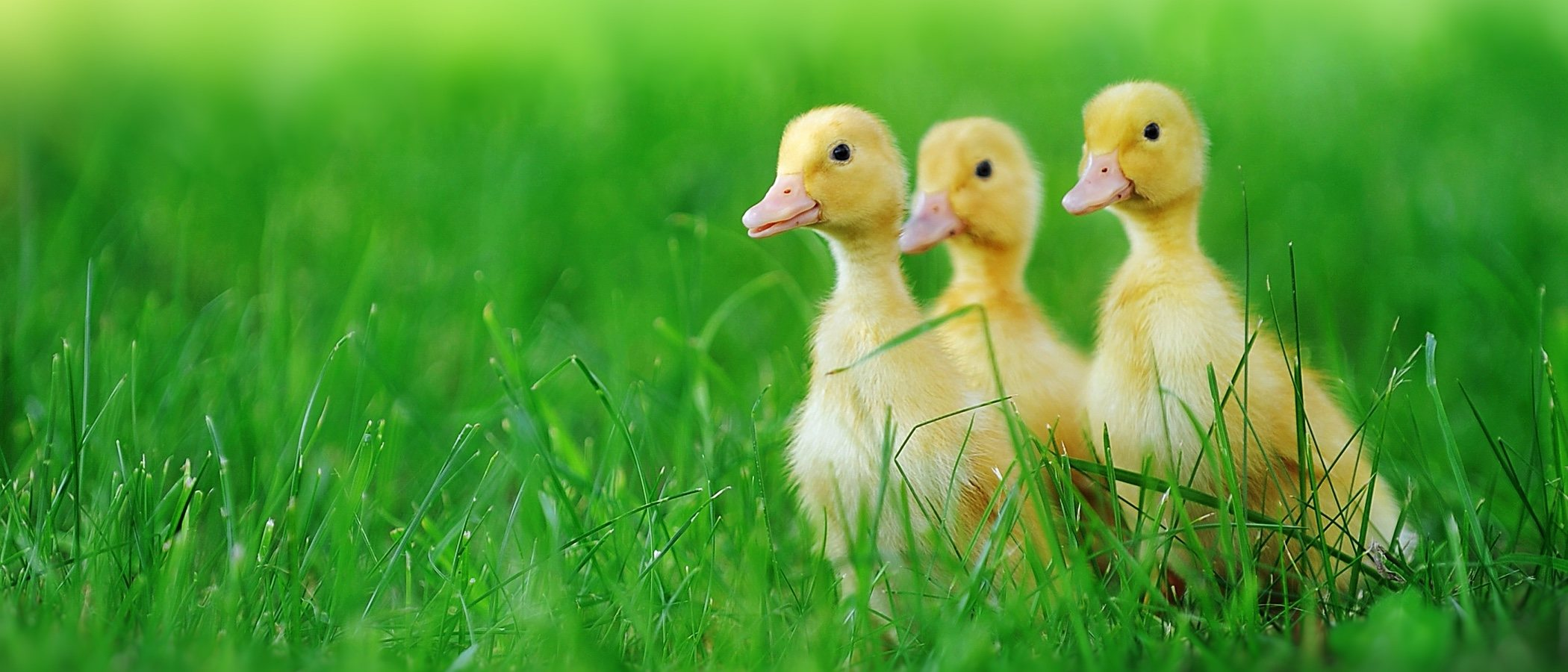 Cuidados necesarios para tener un pato como mascota