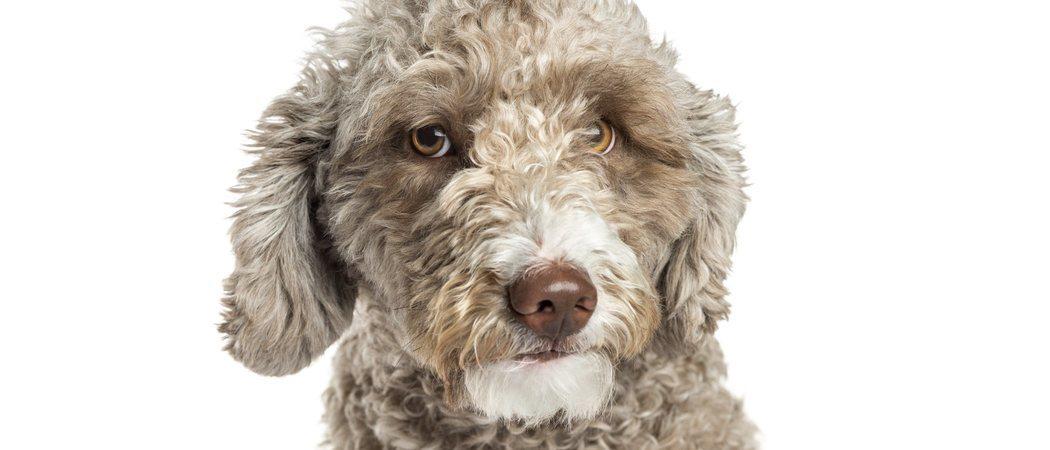 Perro de agua español: conoce todo sobre esta raza de perros