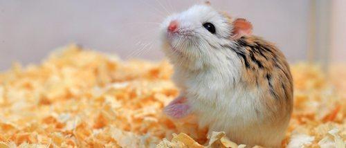 Hámster Roborovskii: todo lo que debes saber sobre este pequeño roedor