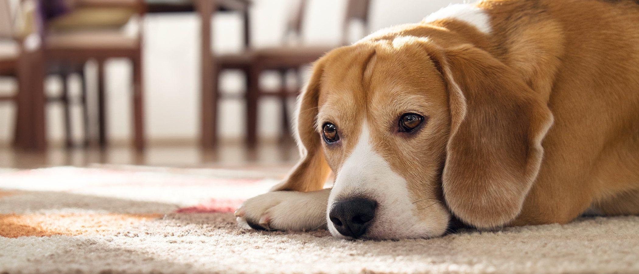 Anemia en perros: síntomas y alimentación
