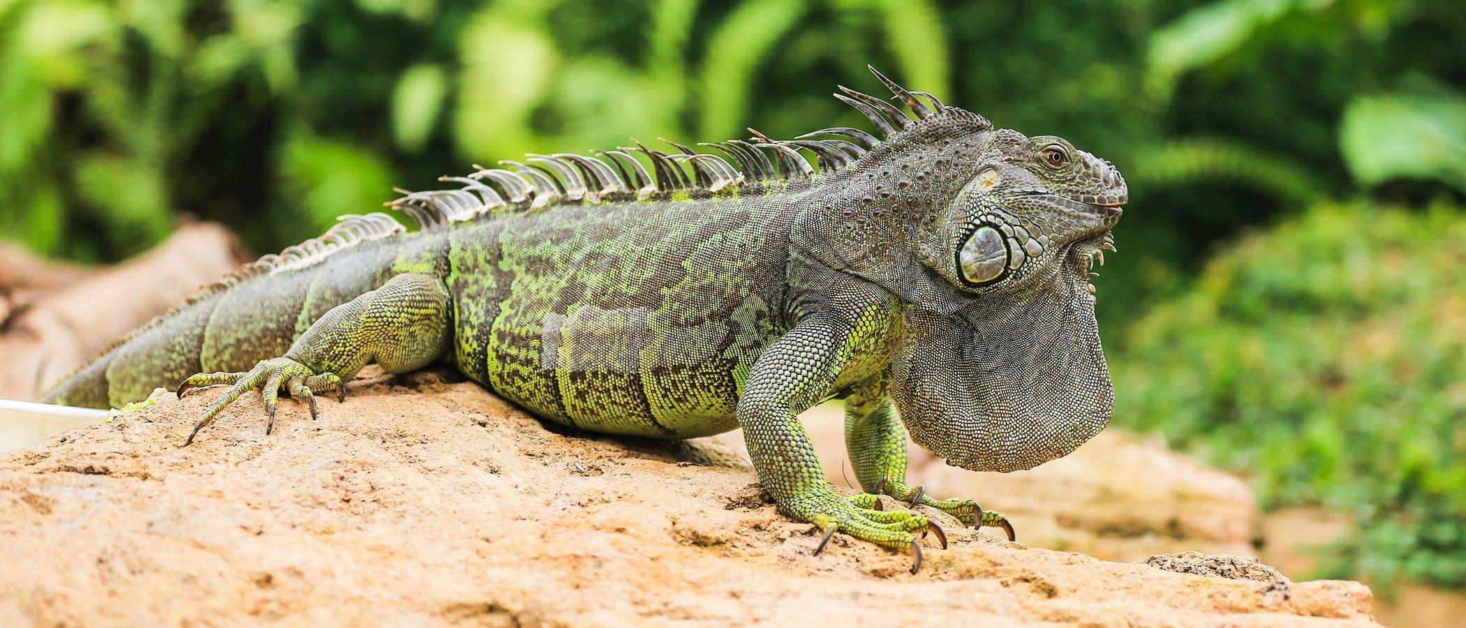 Tipos de iguanas que se pueden tener como mascota