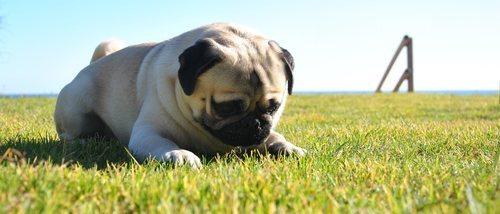 10 curiosidades sobre los carlinos, una raza de perro muy popular