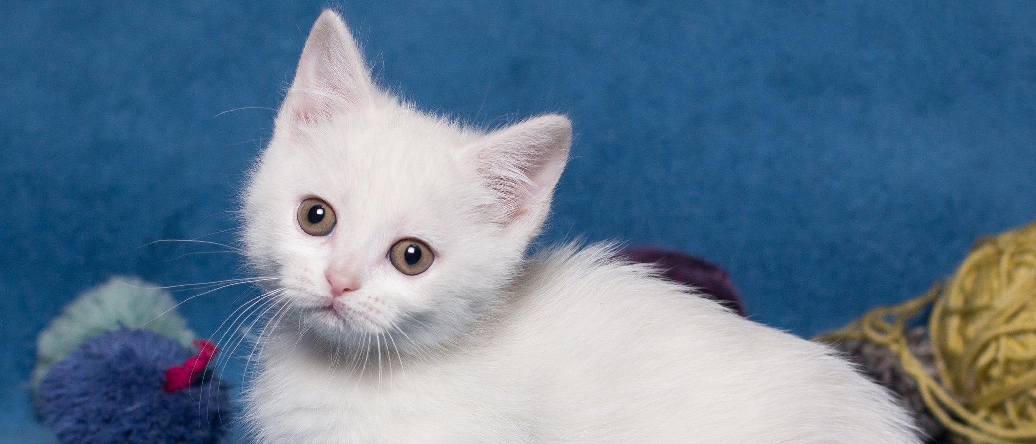 Gato Munchkin: conoce todo sobre esta raza de felino