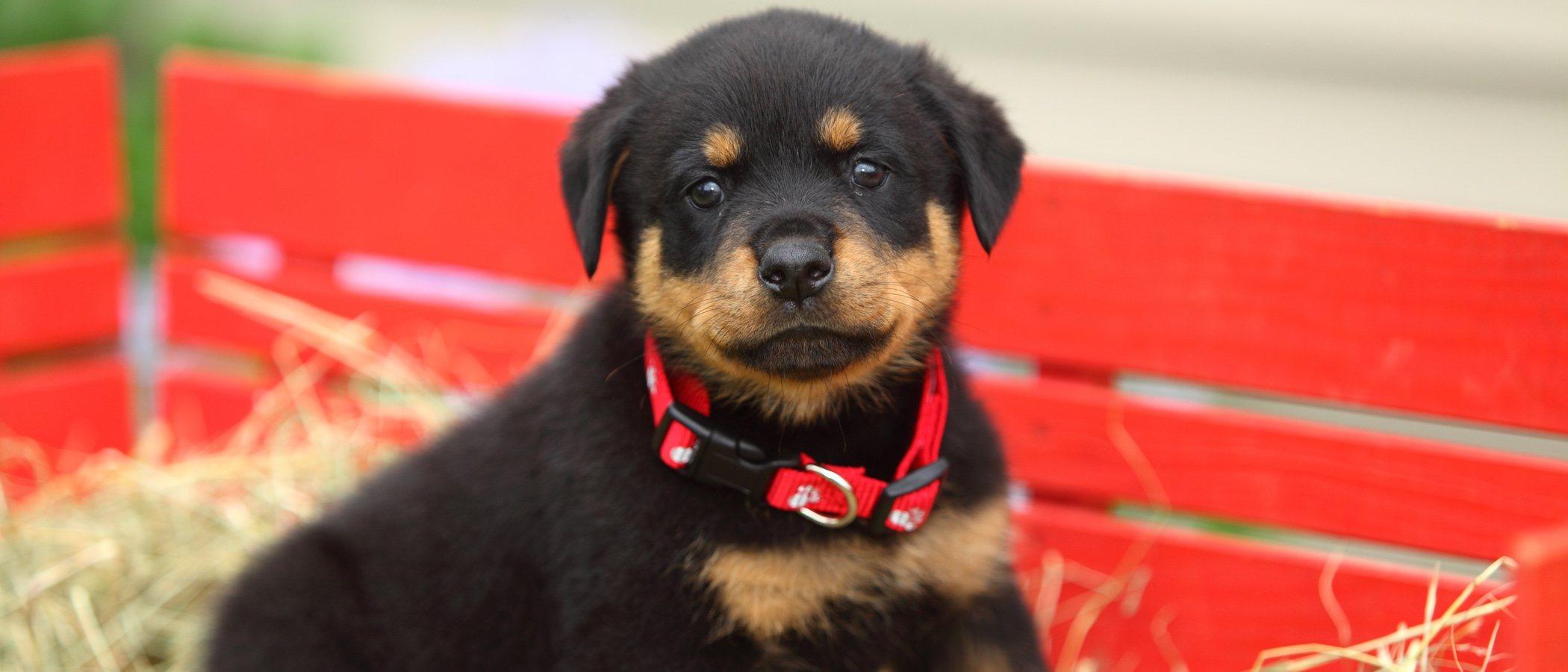 Cuidados de un rottweiler cachorro: todo lo que necesitas saber