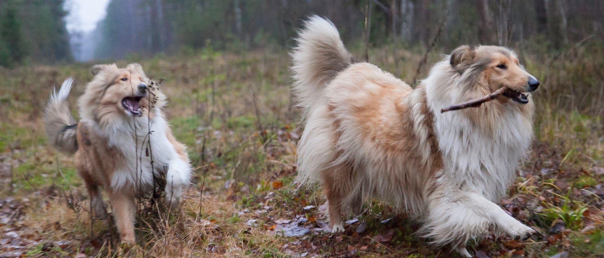 6 razas de perros peludos que te encantarán