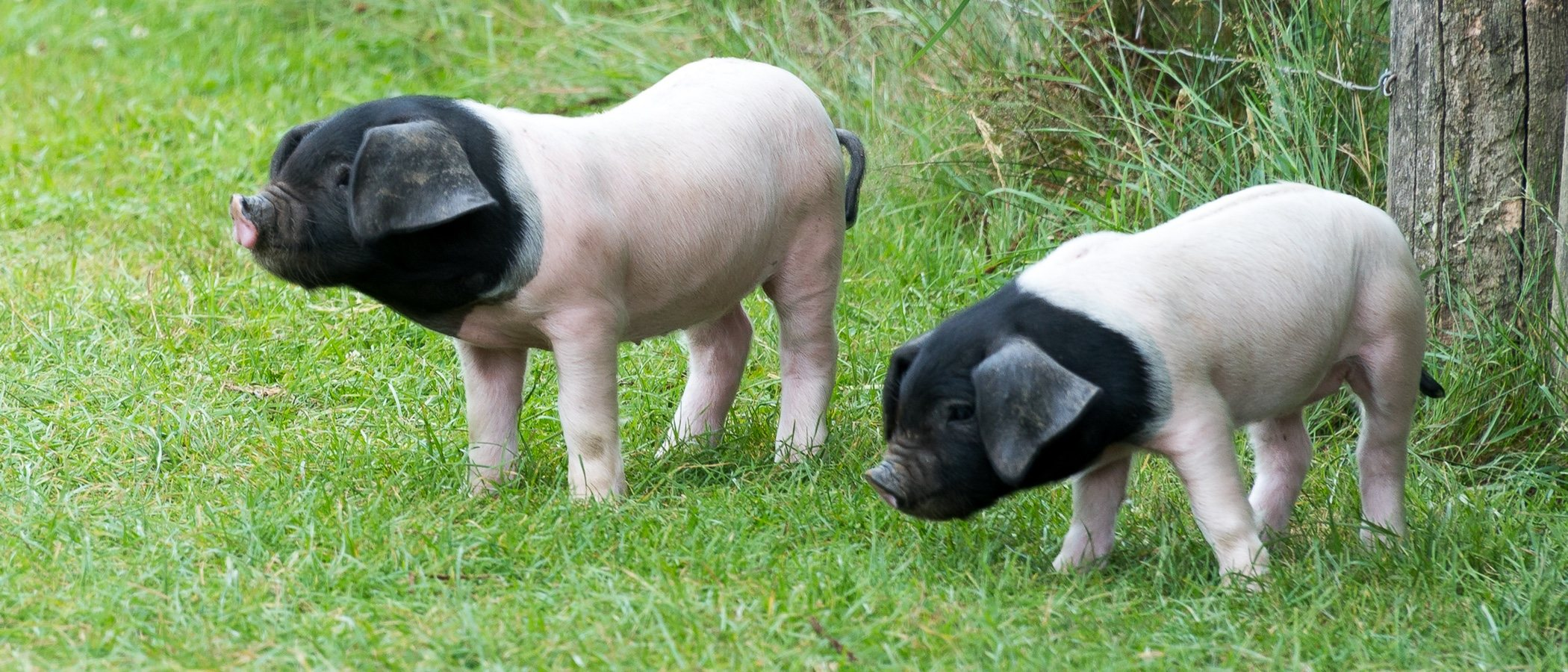 Alimentación del mini pig o cerdo en miniatura