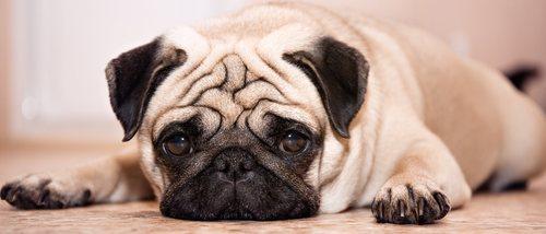 Estreñimiento en perros: remedios caseros para solucionarlo