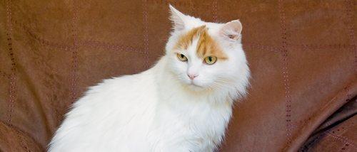 Gato van turco: conoce todo sobre esta raza de felino
