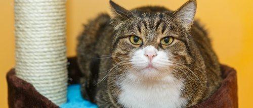 Estreñimiento en gatos: formas de solucionarlo