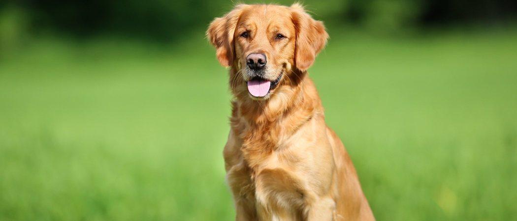Tener un perro de caza como mascota: cuidados necesarios