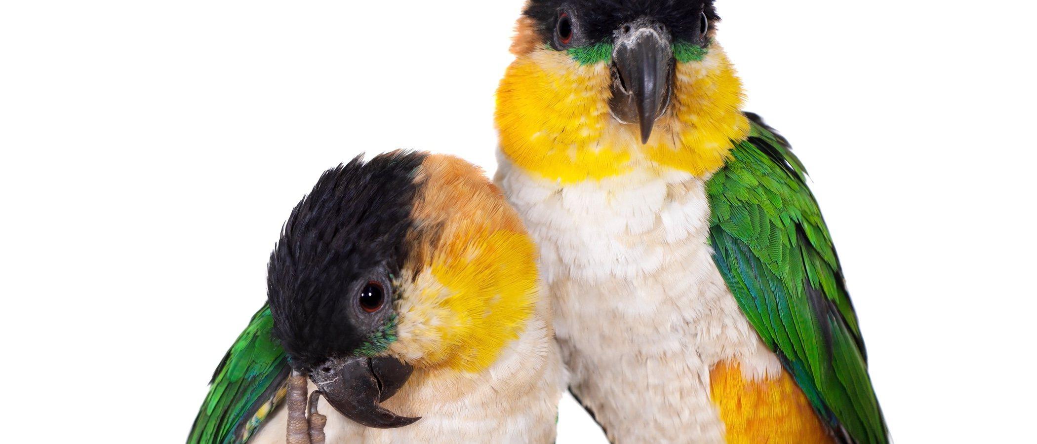 Pionites o caique de cabeza negra: un ave de lo más bonita