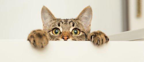 Las 10 razas de gatos más inteligentes