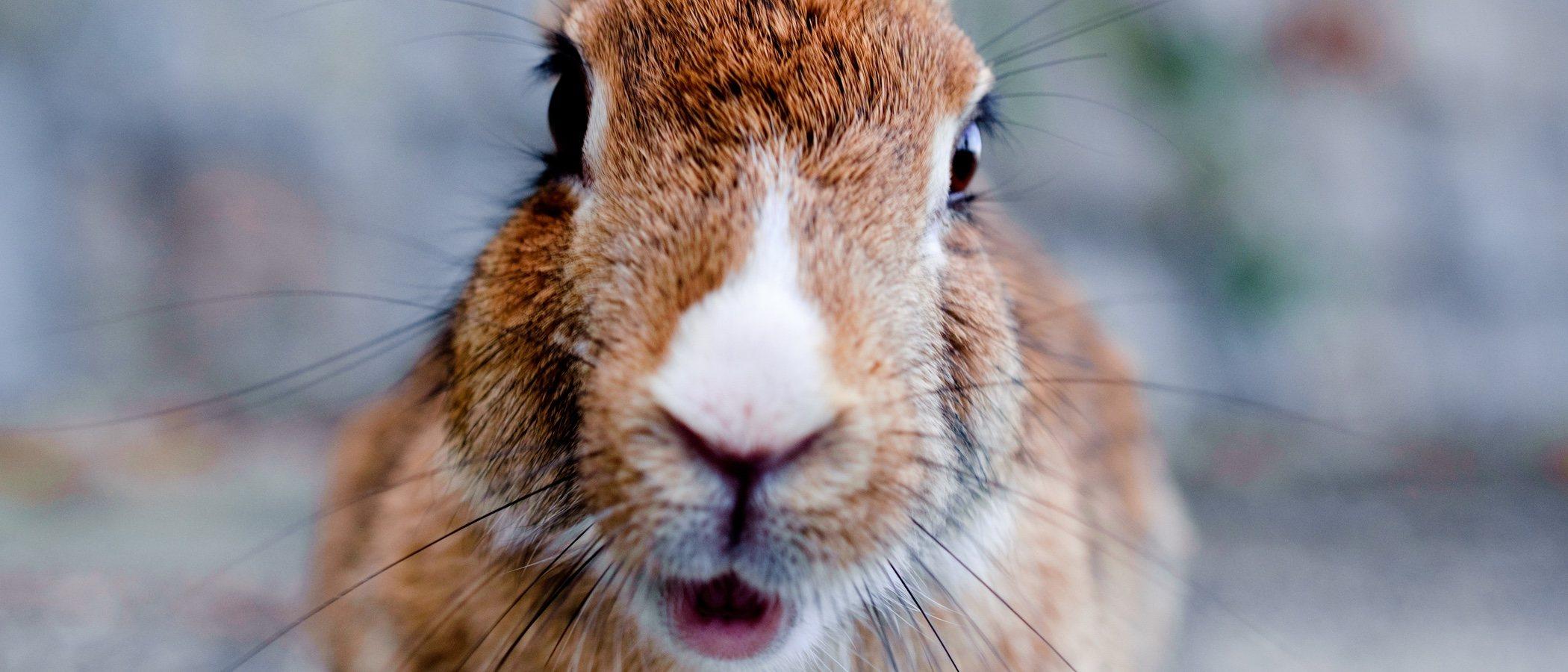 Rabia en conejos: cómo tratarla