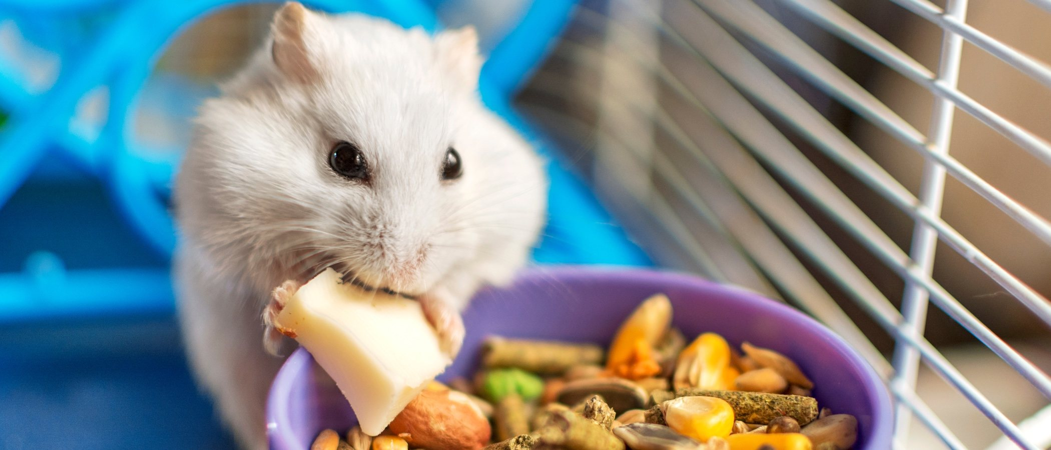 ¿Por qué los hámsters se comen a sus crías?