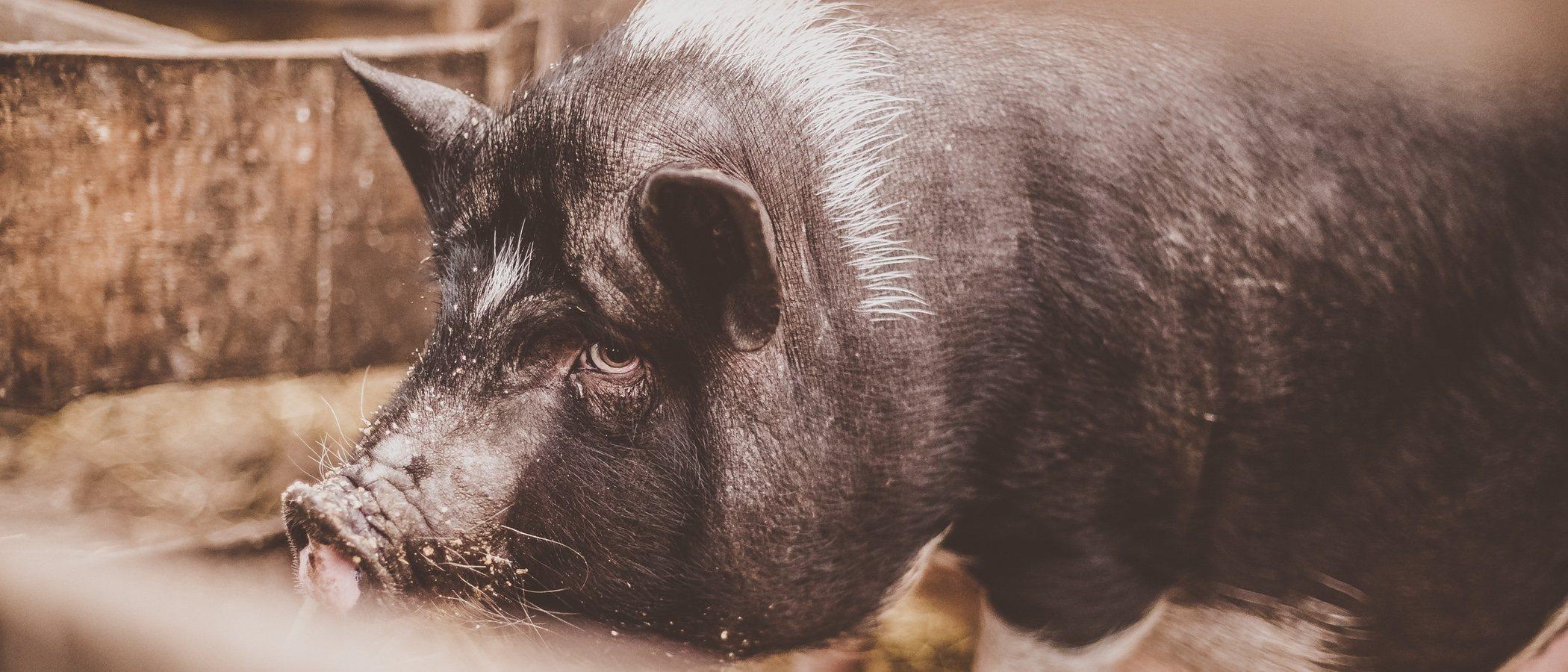 Cómo educar a un cerdo vietnamita