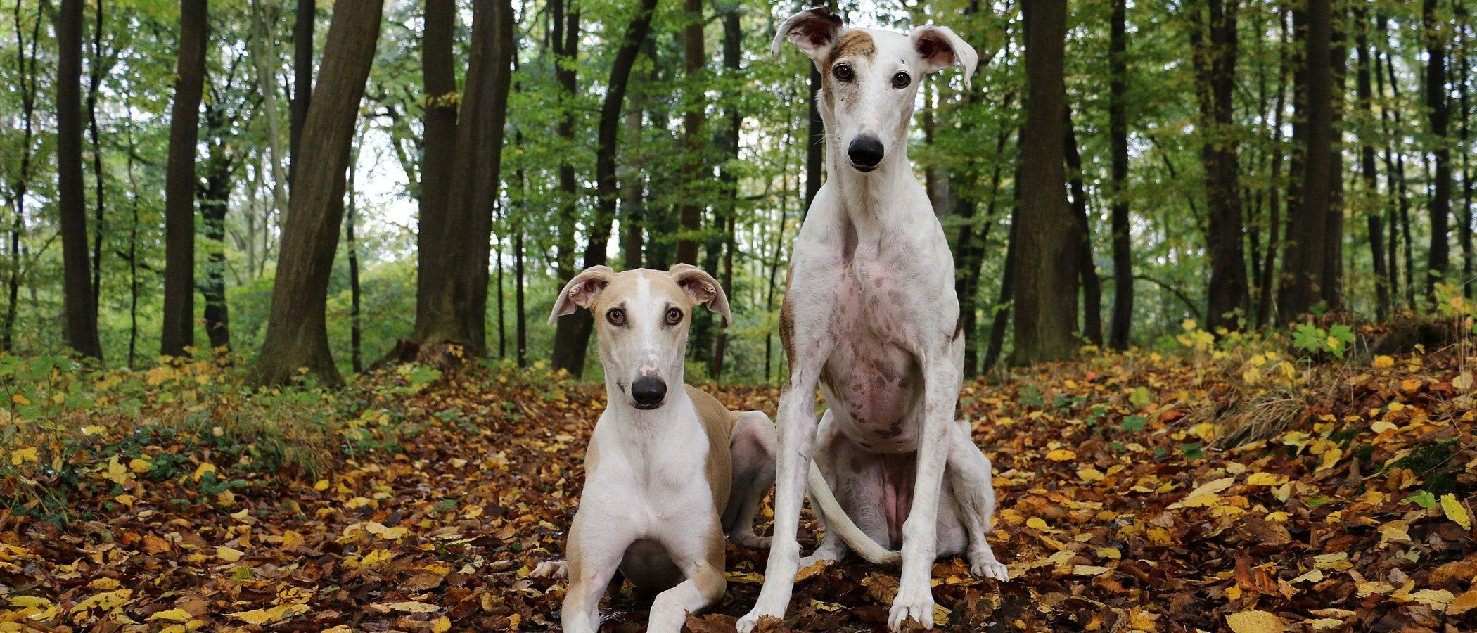 Tipos de Galgos: conoce todas las razas de este perro