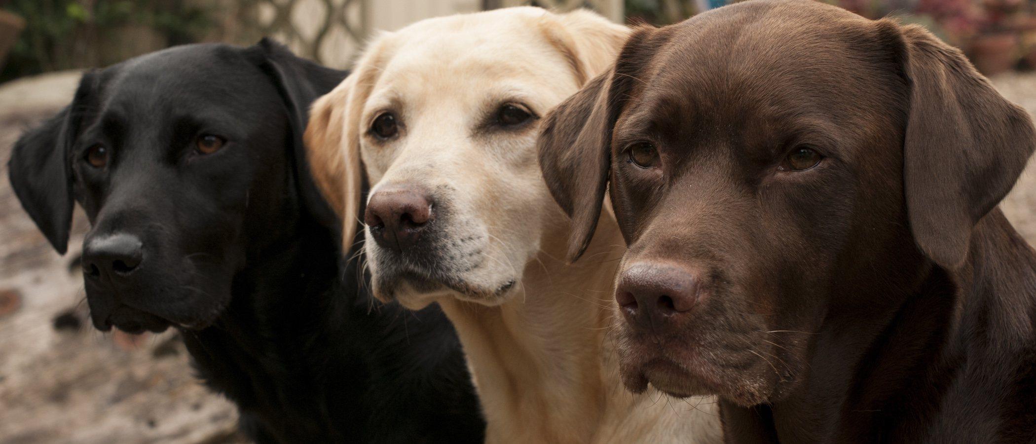 Clasificación de razas de perros por continente: América