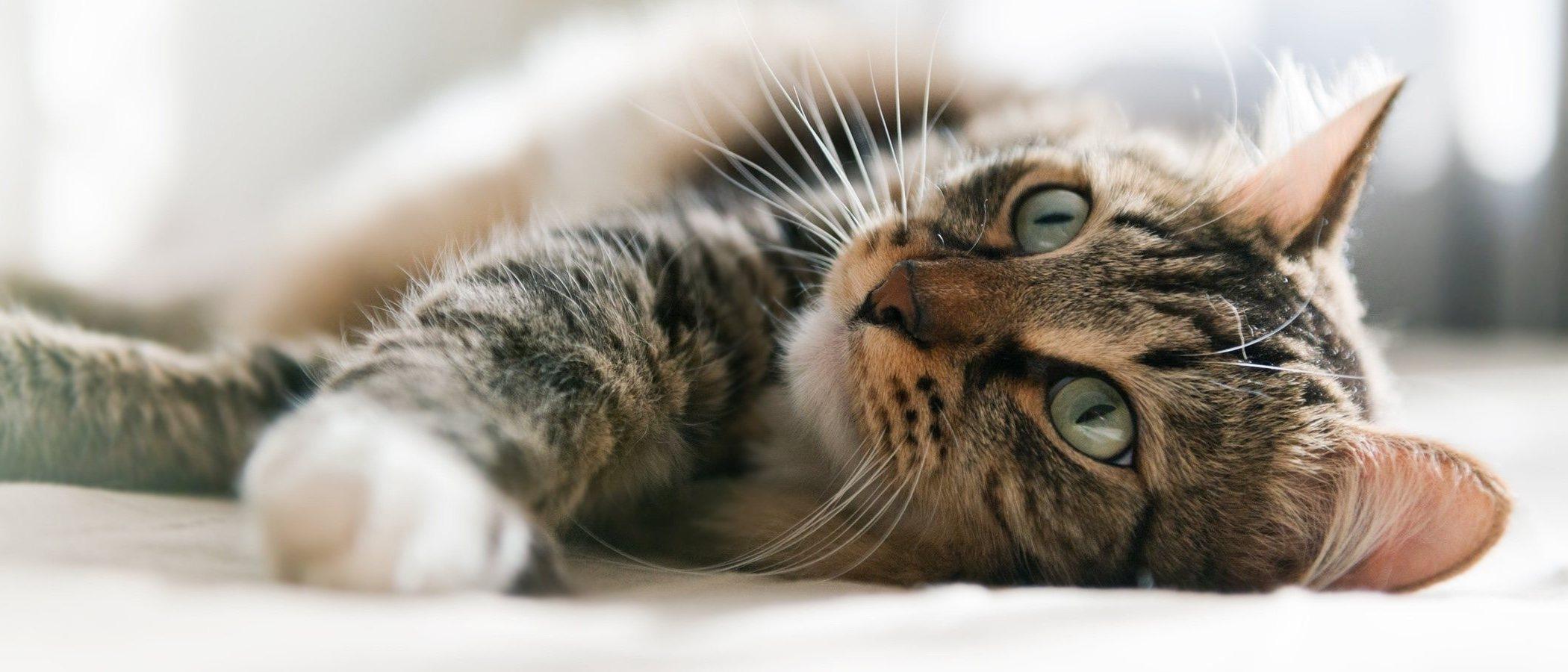 Quimioterapia en gatos
