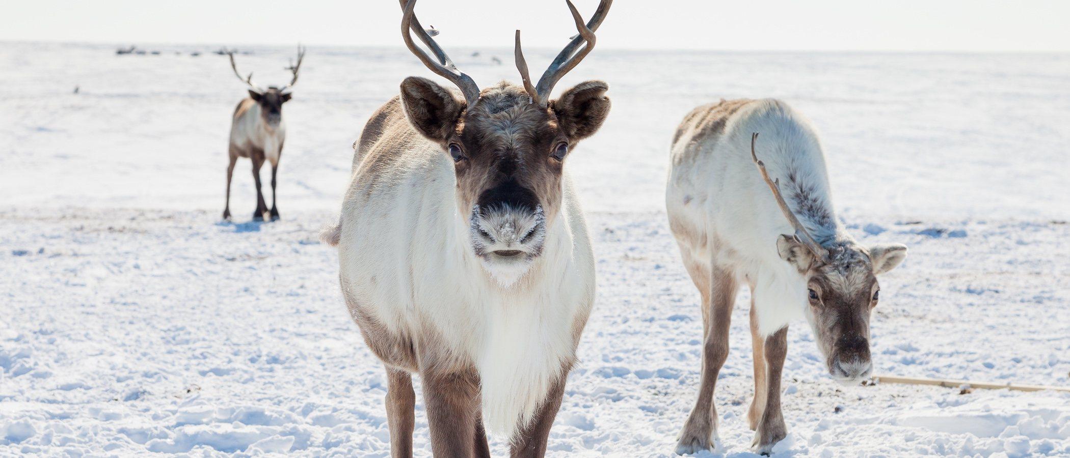 Los renos, los grandes protagonistas de la Navidad