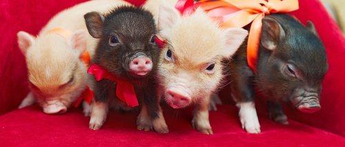 Qué vacunas necesita un mini pig