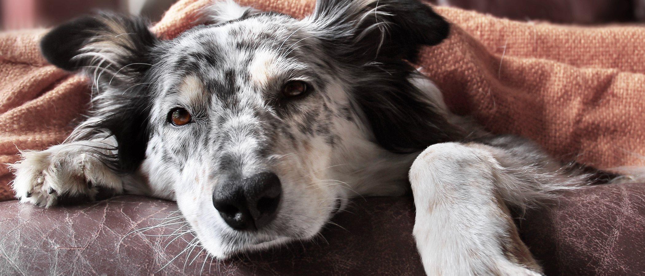 Qué sienten los perros justo antes de morir