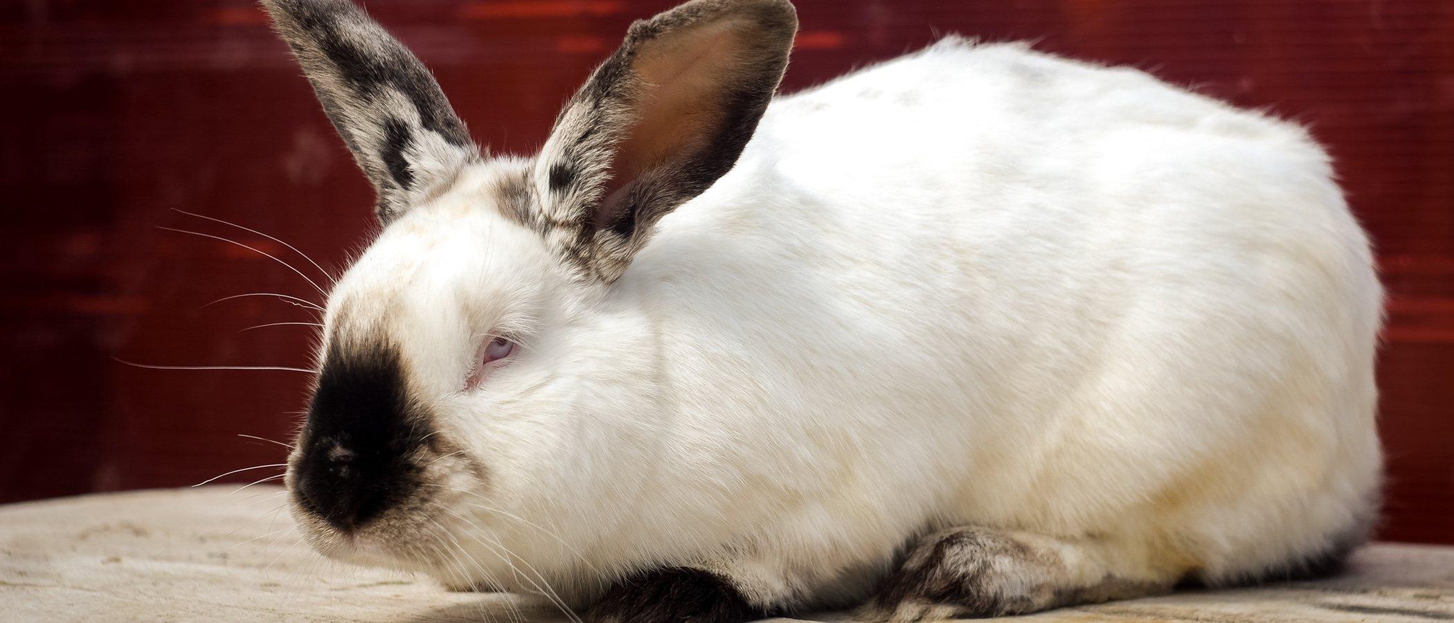 Conejo californiano: descubre todo sobre esta raza