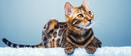 Razas de gatos: Gato de Bengala o Bengalí