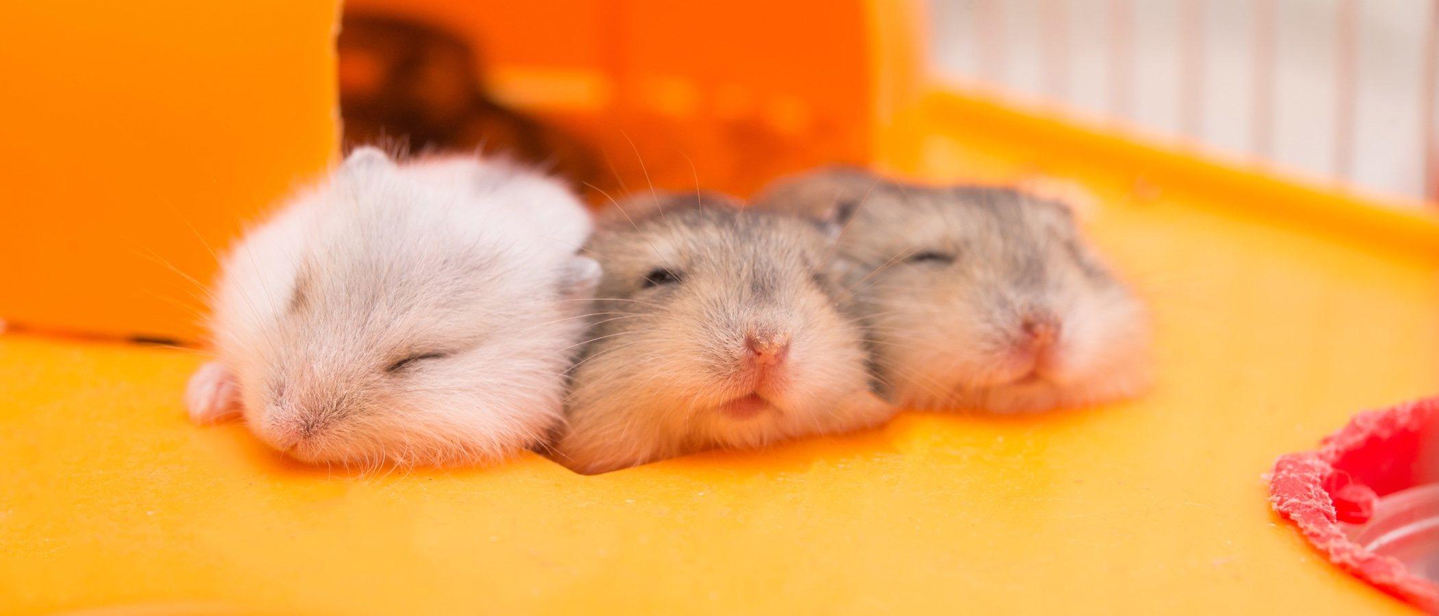 Cuándo hibernan los hámsters: todo lo que debes saber