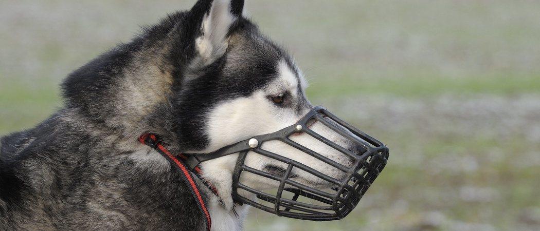 Los trucos para poder colocar un bozal a tu perro