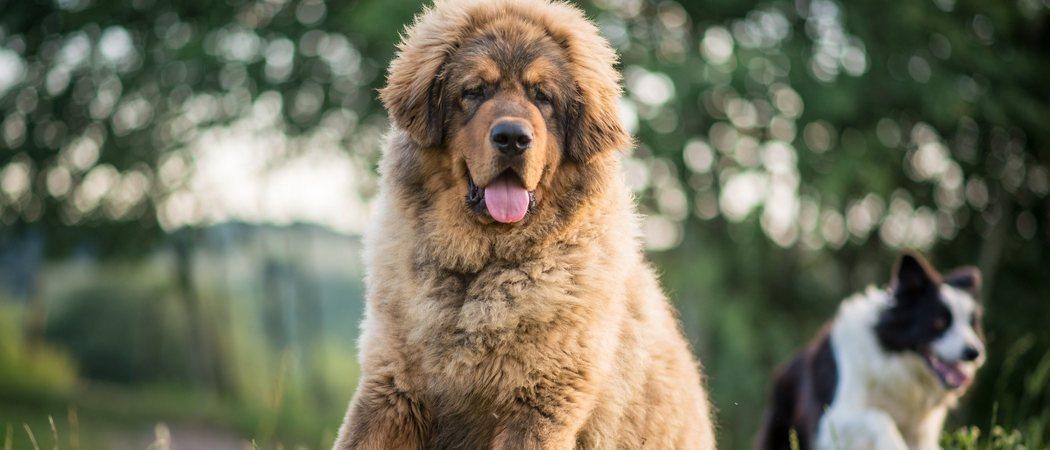 ¿Cuál es la raza de perro más fuerte?