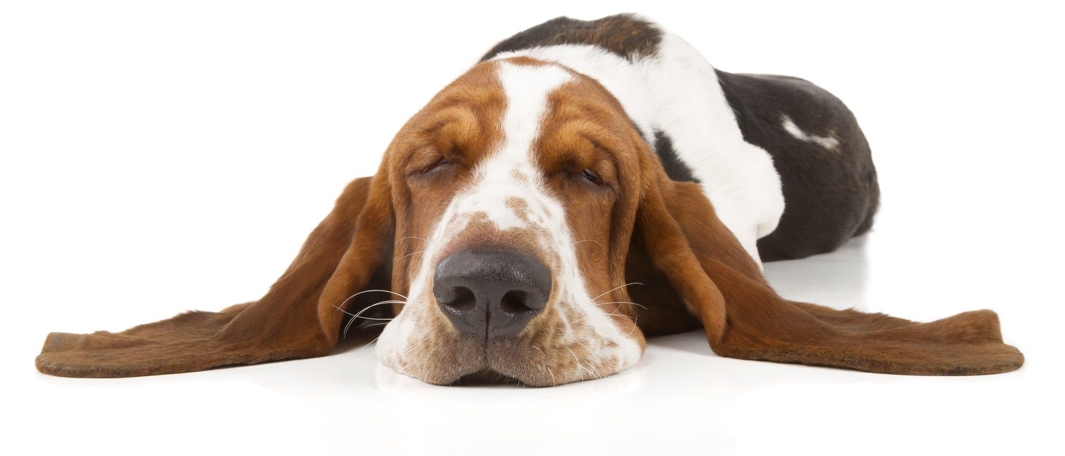 Razas de perro con las orejas grandes