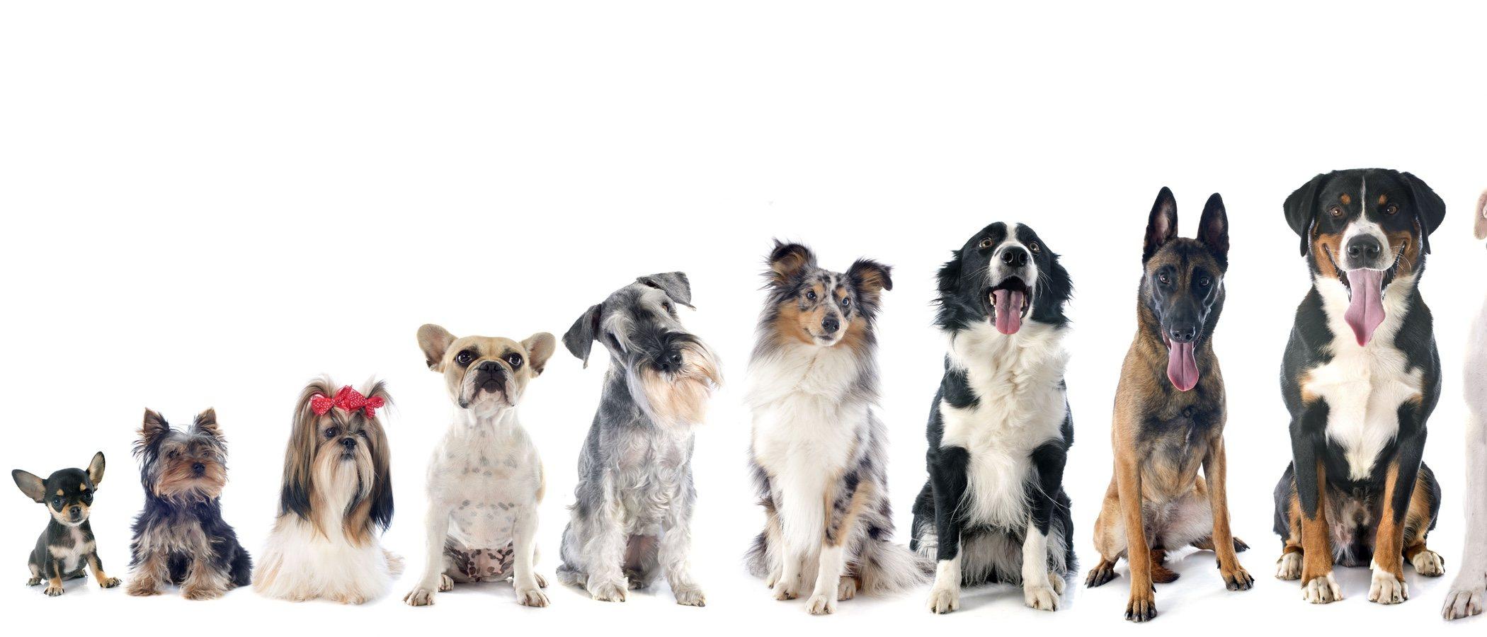 ¿Cuál es la raza de los perros protagonistas de dibujos animados y películas?