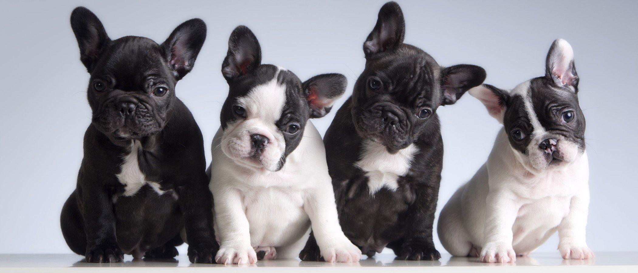 Razas de perro más propensas a sufrir displasia de cadera