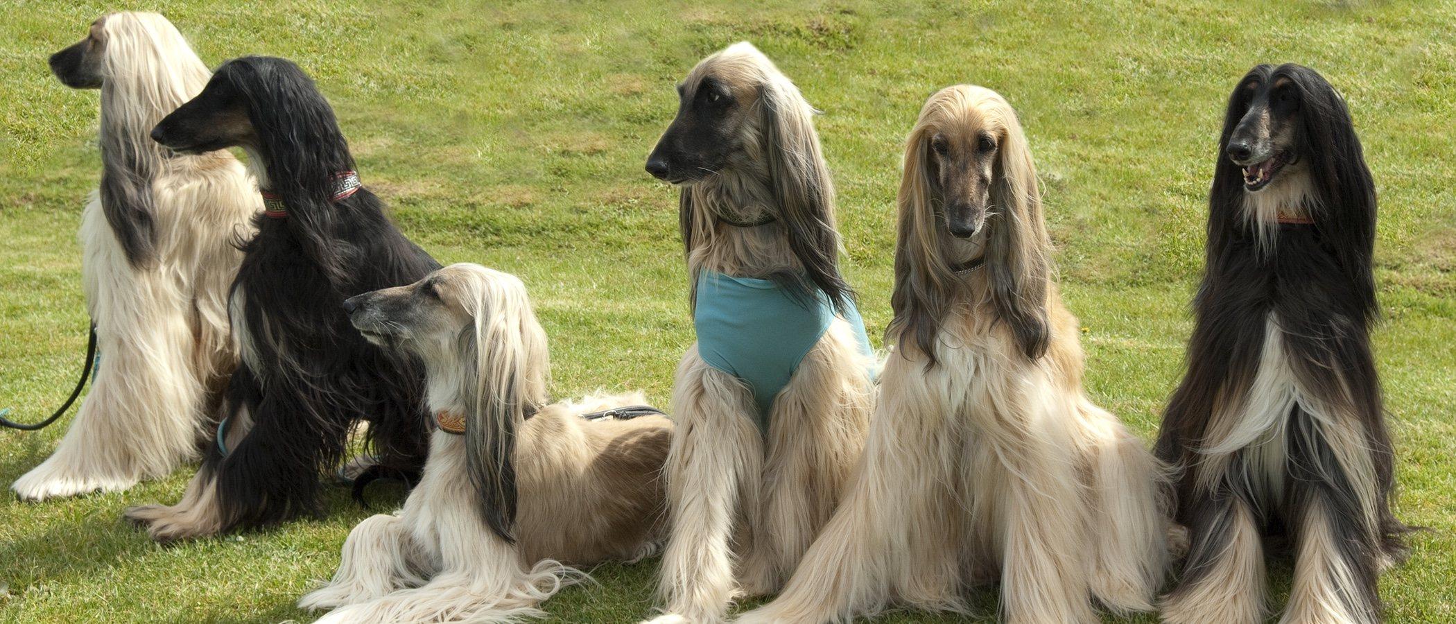 Galgo afgano: todo lo que debes saber sobre esta raza de perro
