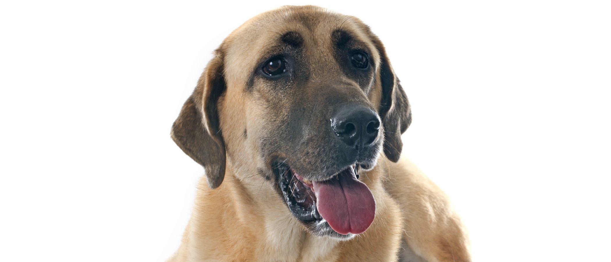 Razas de perro: Kangal Turco