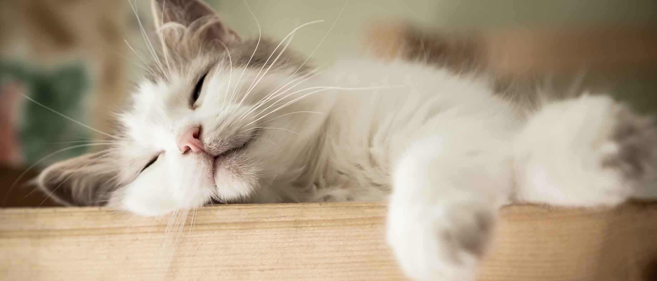 Orquitis en gatos: hinchazón testicular