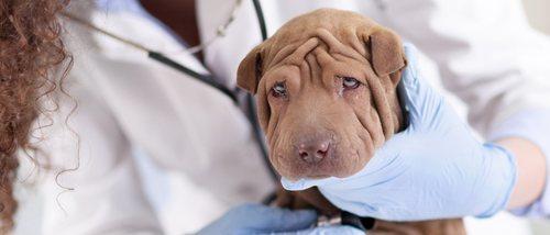 Enteritis en perros: qué es y cómo se soluciona