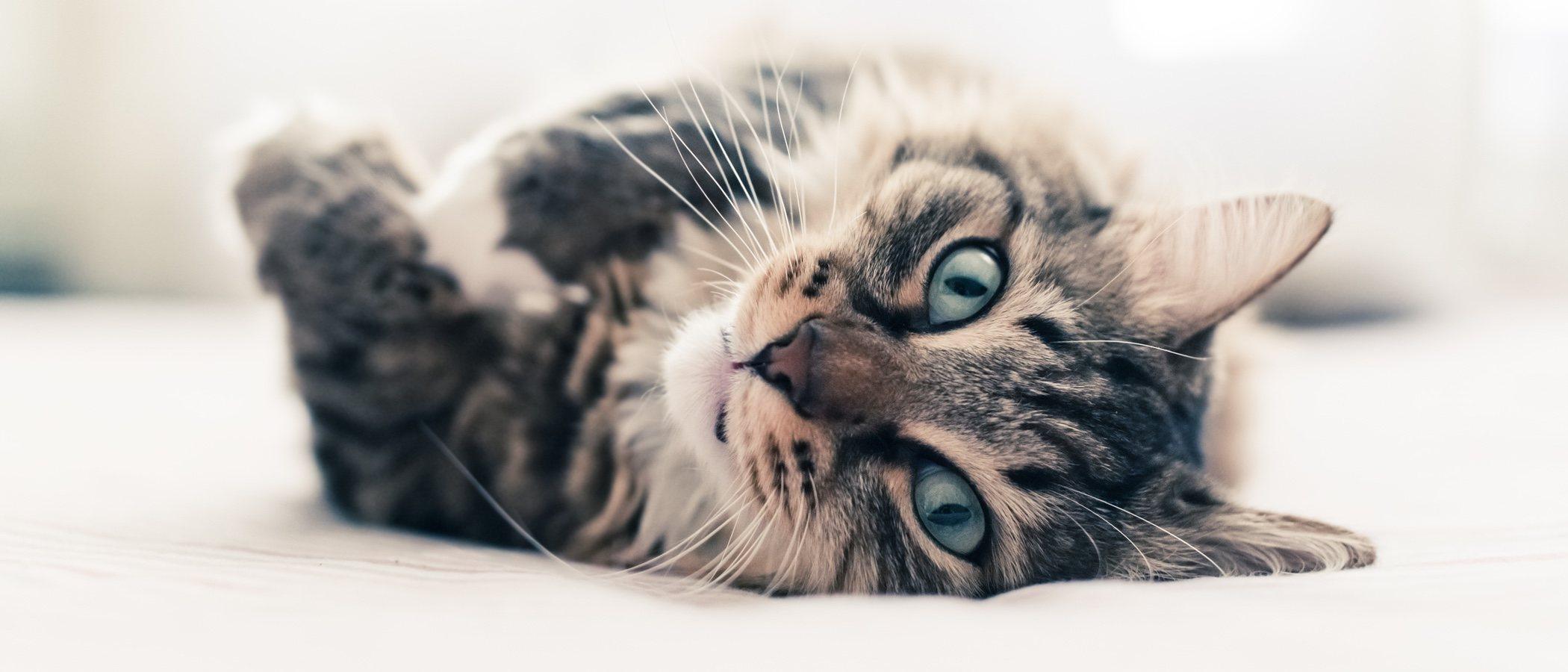 Consejos para elegir la raza de tu primer gato