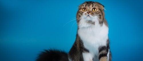 Razas de gato: Highland Fold